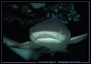 Face to face with this little reef shark in the water's o... by Michel Lonfat 